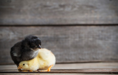 little kid chick standing on wooden background