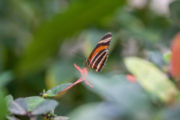 Wild Butterflies in Saint Martin