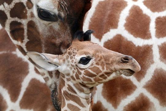 Close up of giraffe and calf