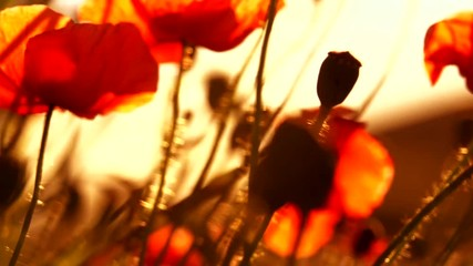 Fotoväggar - Poppy field. Blooming Poppies. Flowers. Slow motion video footage 1080 full HD