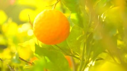 Fotoväggar - Ripe oranges or tangerines hanging on a tree. Beautiful Healthy organic juicy orange growing in Sunny Orchard. Slow motion HD 1080 video footage