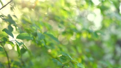 Fototapete - Nature background. Beautiful Sun shine through the blowing on wind tree green leaves. Blurred abstract bokeh with sun flare. Sunlight. Sunflare. Slow motion 240 fps. HD 1080p