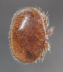 Varroa destructor bee parasite - microscope photo