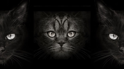 dark muzzle cat close-up. front view