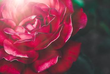 Red rose closeup, festive background