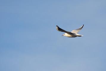 Seagull in flight over  Badajoz