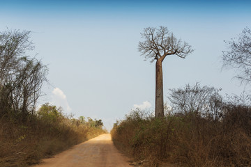 Traditional road in Madagascar baobab trees in background