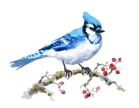 Watercolor Bird Blue Jay Hand Painted Illustration