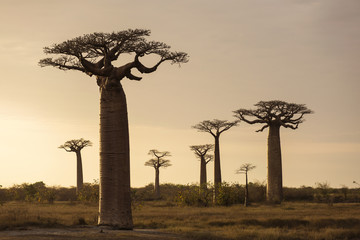 Fotorolgordijn Baobab Landscape with Baobab in front and in background in Madagascar,