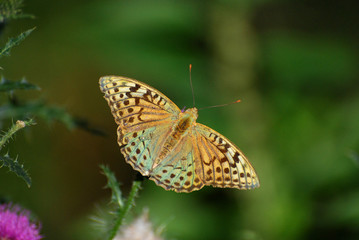 Argynnis pandora - Cardinal cloak butterfly on a flower in meadow with a green background