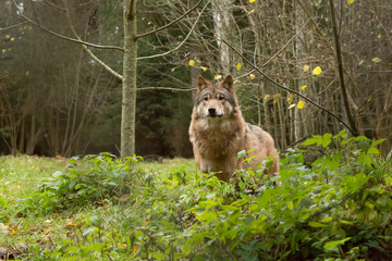 Portrait of a wolf in autumn forest