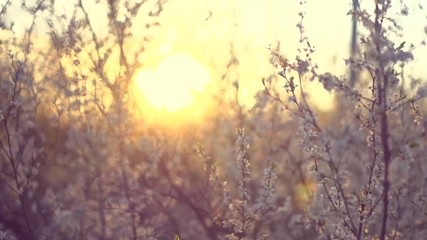 Klistermärke - Spring blossom. Beautiful blooming trees in orchard. Full HD 1080p