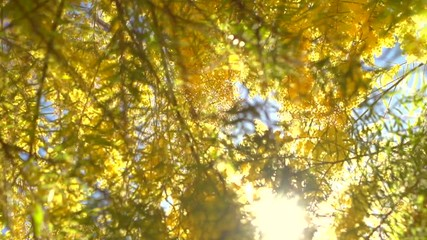 Klistermärke - Blooming mimosa tree over blue sky. Slow motion 240 fps. High speed camera. Full HD 1080p video footage
