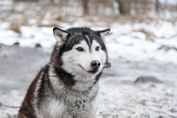 Husky in the yard