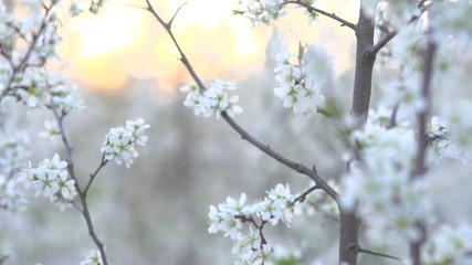 Klistermärke - Spring blossom. Beautiful blooming trees in orchard, spring flowers. Full HD 1080p