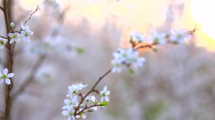 Affisch - Spring blossom. Beautiful blooming trees in orchard, spring flowers. Full HD 1080p