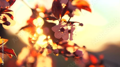 Wall mural Spring blossom. Beautiful nature scene with blooming tree and sun flare. HD 1080p, slow motion