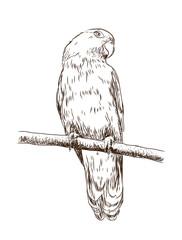 Sketch of parrot macaw in vector.
