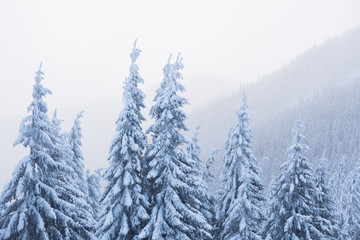 Fototapete - Winter in the fir forest