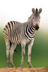 Fototapete - Zebra portrait from a low angle, Kruger National Park. Equus quagga