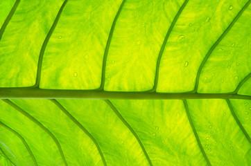green leaf vein texture
