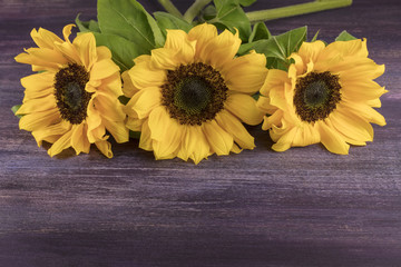 Yellow sunflowers on purple with copyspace
