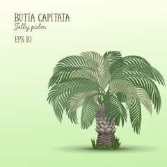 Date palm tree, Butia capitata.