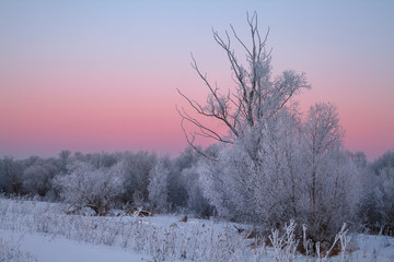bushes covered by hoarfrost and afterglow in the background