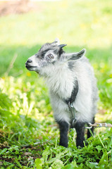 Goat grazing on a meadow pasture