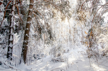 Winter bright sun air white frozen pine trees forest taiga in snow