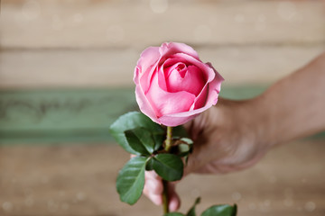 Close up of man hand giving a pink rose.    Man apologize to woman with blossom pink rose.