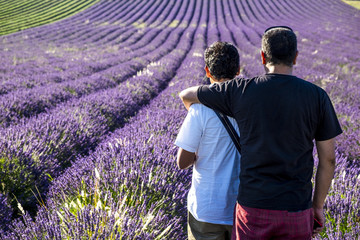 Production of lavender in Sault France