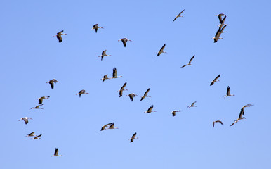 a flock of storks fly in the sky