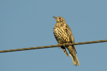 Song Thrush On The Cable