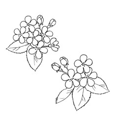 vector monochrome contour sketch of cherry flowers and leaves