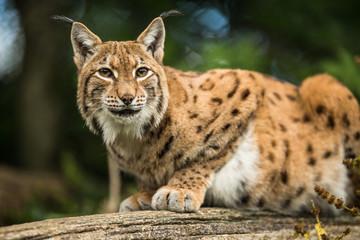 Aluminium Prints Lynx Eurasian Lynx (Lynx lynx)