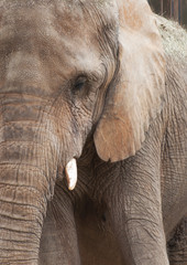 African elephant profile close up