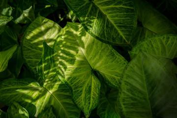 Dumb cane or Dieffenbachia leaf texture background