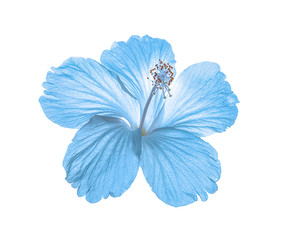 blue flower isolated on white background