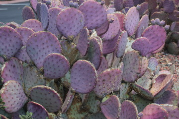 Prickly pear cactus in Sedona, Arizona
