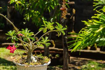 bonsai in tempel bali
