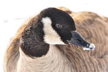 Canada goose close up snow covered beak