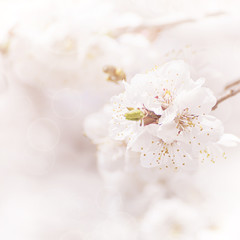 Apricot tree flower, seasonal floral nature background,