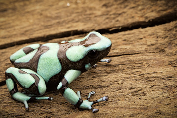 Poison dart frog, Dendrobates auratus Pena Blanca. Poisonous rain forest animal from Panama. .