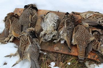 Pile of Wild Grouse after Sucessful Hunt