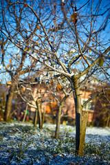 Apple trees on wintertime
