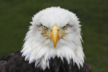 Bald Eagle (Haliaeetus leucocephalus) head portrait