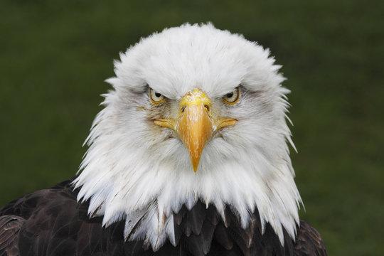 Bald Eagle (Haliaeetus leucocephalus) head portrait
