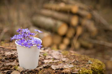 Beautiful snowdrops in a paper cup on old wood background. first spring flowers in a forest.  Wild flowers on wooden background. spring concept.