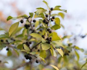black berries on the tree